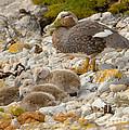 Falkland Steamerduck by John Shaw