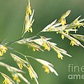 Flowering Brome Grass by J McCombie