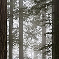 Foggy Coast Redwood Forest by Gregory G. Dimijian, M.D.
