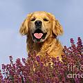 Golden Retriever Dog by John Daniels