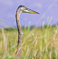 Great Blue Heron On The Prairie by Mark Andrew Thomas