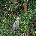 Great Blue Heron by Peter Lakomy