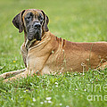 Great Dane by Jean-Michel Labat