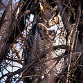 Great Horned Owl by Ronald Grogan
