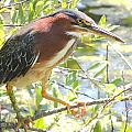 Green Heron by Lucy Howard