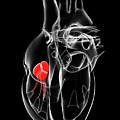 Heart Valve by Sciepro/science Photo Library