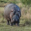 Hippopotamus by John Shaw