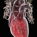Human Heart by Science Picture Co