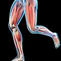 Human Leg Muscles by Sebastian Kaulitzki