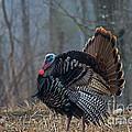 Jake Eastern Wild Turkey by Linda Freshwaters Arndt