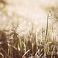 June Grass Flowering by Elena Elisseeva