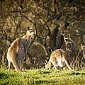 Kangaroo by Tim Hester
