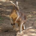 Kangaroos by Carol Ailles