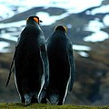 King Penguins by Amanda Stadther