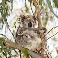 Koala by Tim Hester