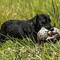 Labrador Retriever by Steven Clair