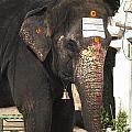 Lakshmi Temple Elephant by Carol Ailles