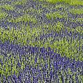 Lavendar Field Rows Of White And Purple Flowers by Jim Corwin