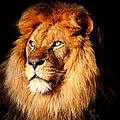 Lion by Heike Hultsch
