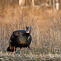 Male Eastern Wild Turkey by Linda Freshwaters Arndt