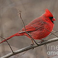 Male Northern Cardinal by Ken Keener
