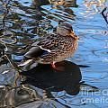 Mallard Duck  by Lori Tordsen