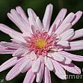 Marguerite Daisy Named Double Pink by J McCombie