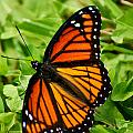 Monarch Butterfly by Carol Toepke