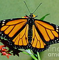 Monarch Butterfly by Millard Sharp