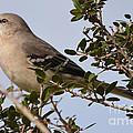 Northern Mockingbird  by Ruth  Housley