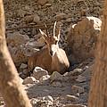 Nubian Ibex by Doc Braham