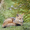 Patagonian Red Fox by John Shaw