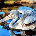 Pink Backed Pelican by George Atsametakis