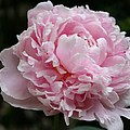 Pink Peony by Christiane Schulze Art And Photography