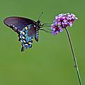 Pipevine Swallowtail Butterfly by Karen Adams