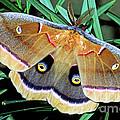 Polyphemus Moth by Millard H. Sharp
