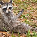 Raccoon by Millard H. Sharp