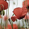 Red Poppy Flowers by Nailia Schwarz