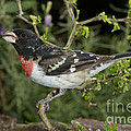 Rose-breasted Grosbeak by Anthony Mercieca