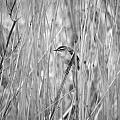 Sedge Warbler by Jouko Lehto