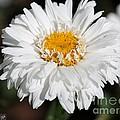Shasta Daisy Named Paladin by J McCombie