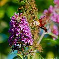 Snowberry Clearwing Hummingbird Moth by Mark Dodd