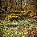 Snowdrop Woods by Mark Llewellyn