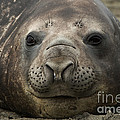 Southern Elephant Seal by John Shaw