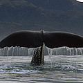 Sperm Whale Tail New Zealand by Flip Nicklin