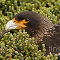Striated Caracara by John Shaw