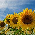 Sunflower by Mark Dodd
