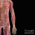 The Musculoskeletal System by Science Picture Co