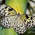 Tree Nymph Butterfly by Millard H. Sharp