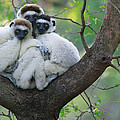 Verreauxs Sifakas Cuddling by Cyril Ruoso
